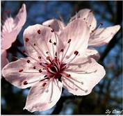 fleur-prunus